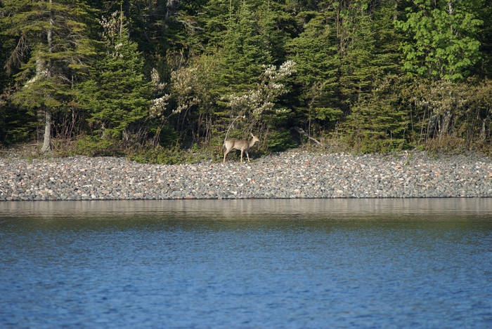 Deer on the shore